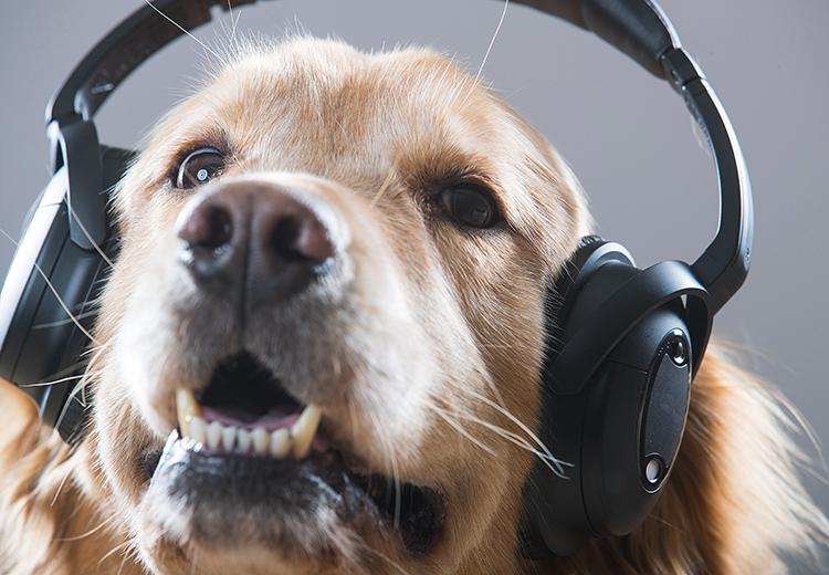 cane golden che ascolta la musica con le cuffie