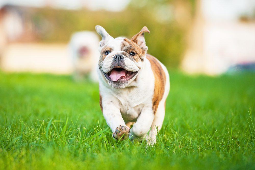 cane bulldog che corre felice nel prato. è stato vaccinato